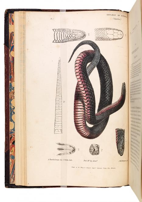 Arthur Bartholomew, Tiger snake Notechis scutatus, c. 1870; watercolour, pencil and ink on paper;26.0 × 15.0 cm. Museum Victoria, PZ3.1